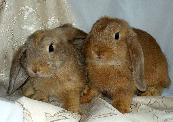 Карликовые кролики карликовые бараны, фото содержание кроликов фотография