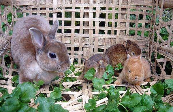 Карликовый рекс с крольчатая, фото содержание кроликов фотография