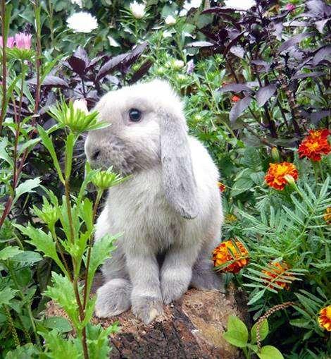 Карликовые бараны, фото карликовые кролики фотография
