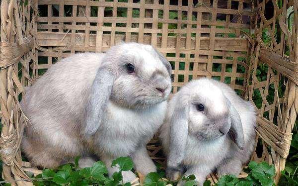 Карликовые кролики бараны, фото кормление кроликов фотография