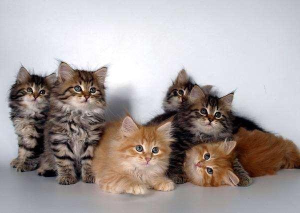 Сибирские котята, фото вопросы о кошках фотография