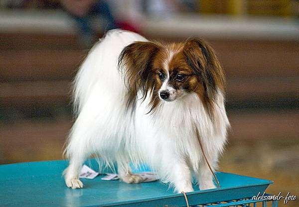 Папильон (папийон), фото фотография породы собак