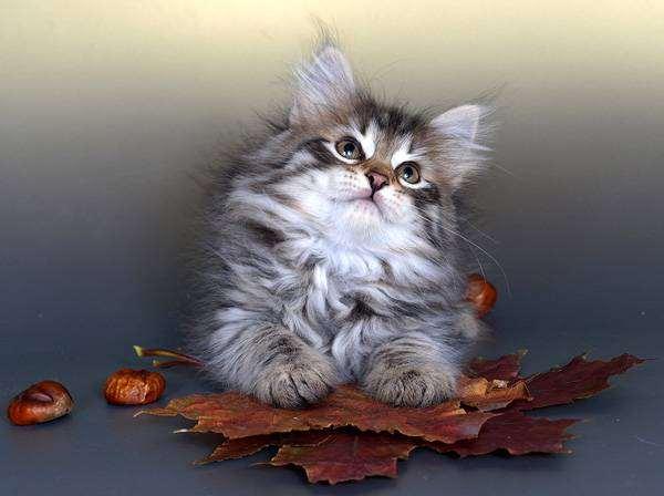 Котенок сибирской кошки, фото консультации о кошках фотография