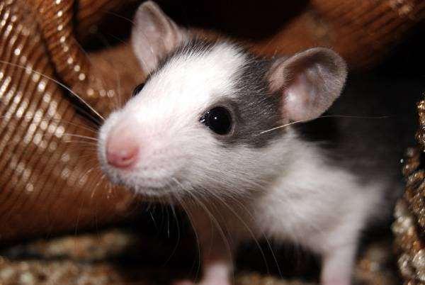 Крыса, фото содержание крыс фотография