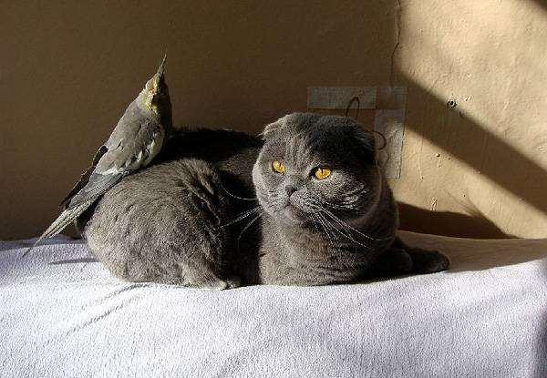 Шотландский вислоухий кот и корелла, фото настоящие попугаи фотография