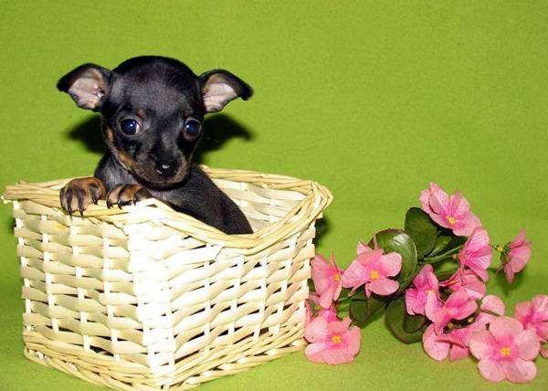 Щенок той-терьера, фото породы собак фотография