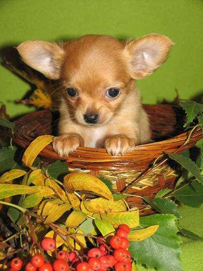 Щенок чихуахуа, фото выбор породы собаки фотография