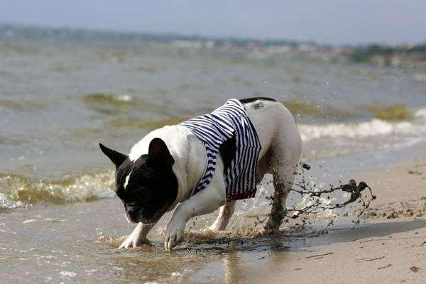 Французский бульдог, фото породы собак фотография