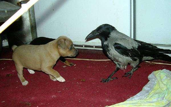 Ворона и щенок, фото кормление птиц фотография