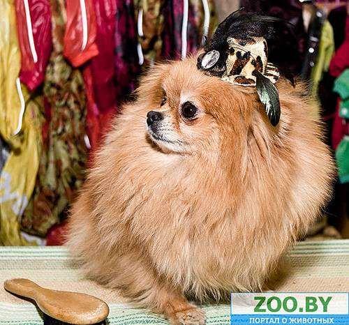 Шпиц в шляпе, фото товары и услуги для животных фотография