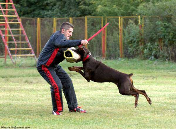 Доберман на рукаве, фото дрессировка собак фотография