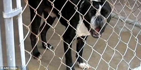 Бостон-терьер - найденыш, фото породы собаки фотография