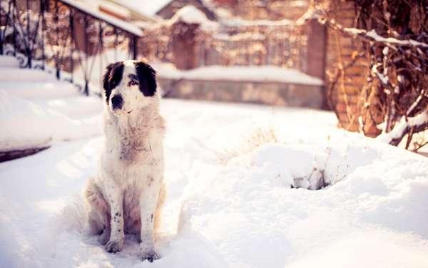 Среднеазиатская овчарка на снегу, фото породы собаки фотография