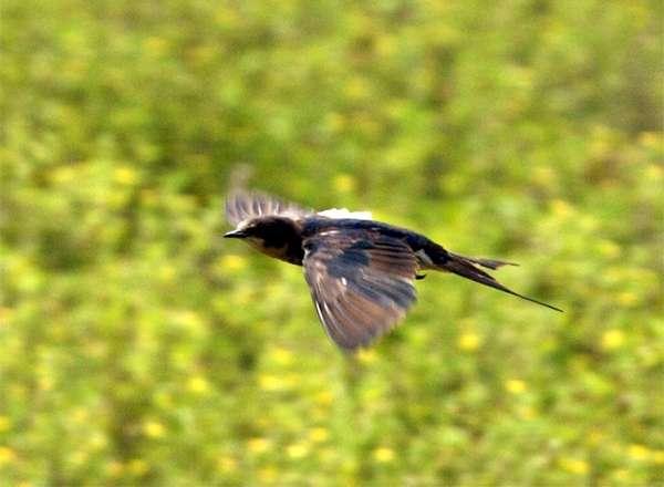 Ласточка-касатка (Hirundo rustica), фото птицы фотография картинка