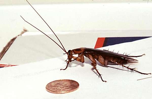 Таракан на кухне, фото фотография насекомые картинка