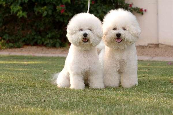 Бишон фризе, фото породы собаки фотография картинка