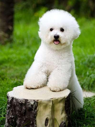 Щенок бишон-фризе, фото породы маленьких собачек фотография картинка
