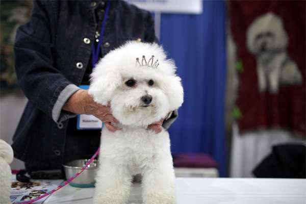 Бишон-фризе, фото фотография картинка породы собаки