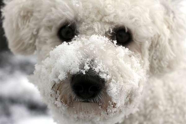 Бишон фризе в снегу, фото породы собачек фотография картинка