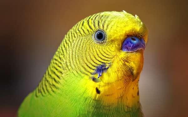 Зеленый волнистый попугай, фото птицы фотография картинка