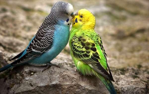 Целующиеся волнистые попугайчики, фото птицы фотография картинка