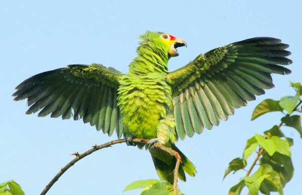 Краснолобый амазон (Amazona autumnalis), фото птицы фотография картинка