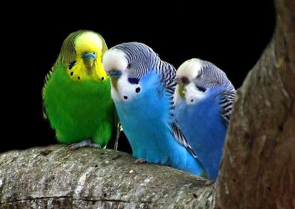 Три волнистых попугая, фото птицы фотография картинка