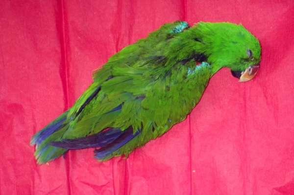 Мертвый попугай, фото птицы фотография картинка