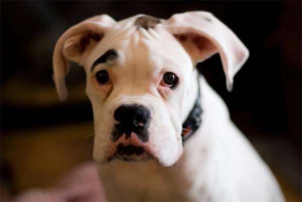 Щенок белого боксера, фото породы собаки фотография