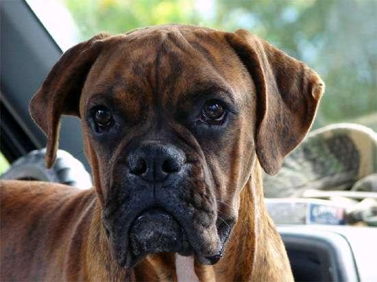 Немецкий боксер, фото породы собаки фотография