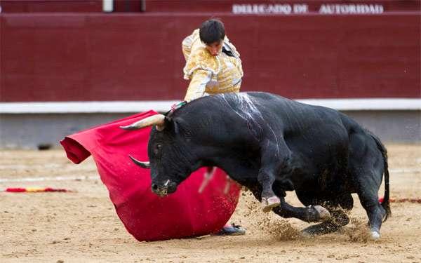 Корида, бой с быком, фото животные фотография картинка