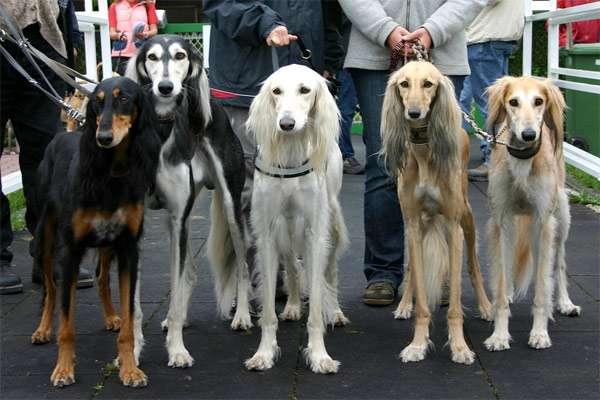 Салюки (персидские борзые), фото породы собаки фотография картинка