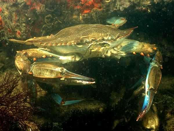 Синий краб (Paralithodes platypus), фото ракообразные животные фотография