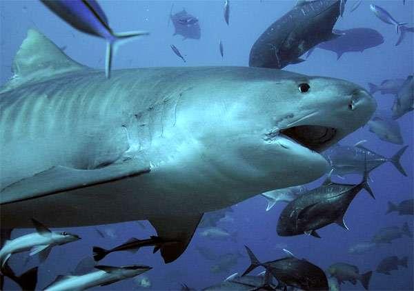 Самая длинная тигровая акула поймана в 1957 году в водах Таиланда. Ее длина составила 7,4 метра