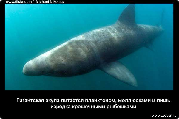 фото акула гигант