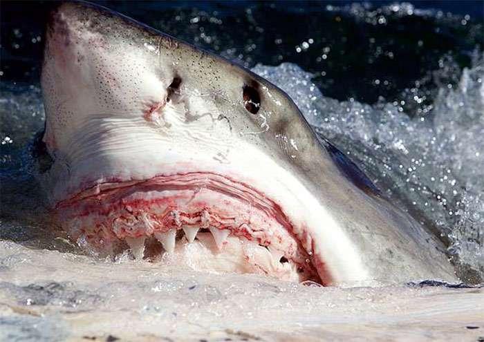 Если белая акула перестанет двигатся, она утонет