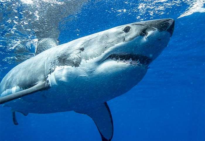 У акул иммунитет к раку