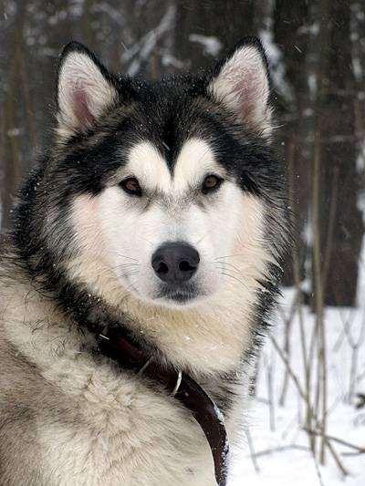 Маламут, фото породы собак фотографии