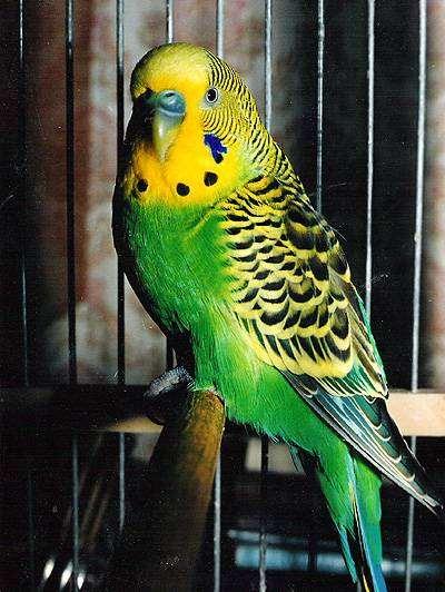 Волнистый попугайчик дикой окраски, фото содержание попугайчиков фотография