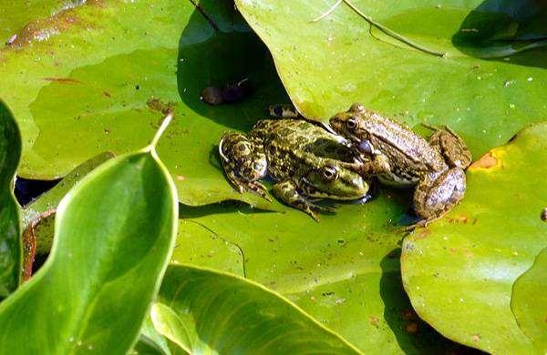 Прудовые лягушки (Rana lessonae), фото бесхвостые амфибии фотография