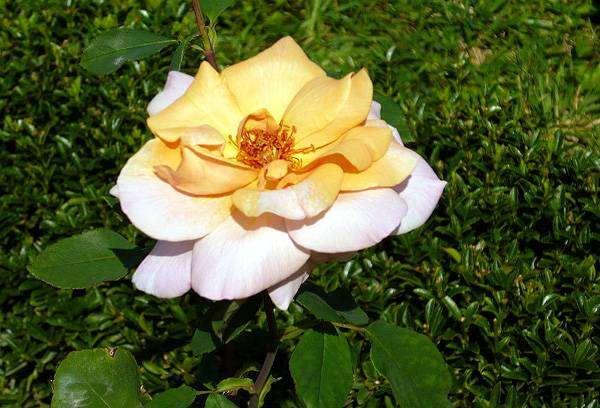 Желтая роза, фото растения фотография