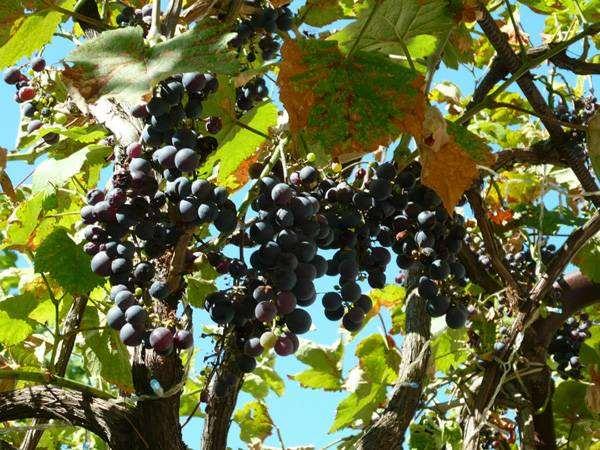 Черный виноград, фото лианы растения фотография