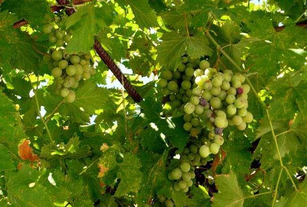 Зеленый виноград, фото лианы растения изображение