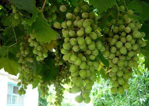 Гроздья зеленого винограда, фото лианы растения фотография