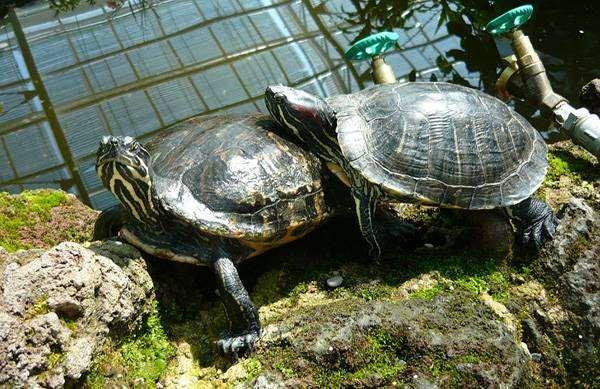 Красноухие черепахи (Trachemys scripta), фото рептилии фотография