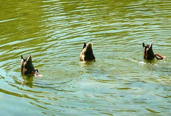 Кряква, утка-кряква (Anas platyrhynchos), фото птицы фотография