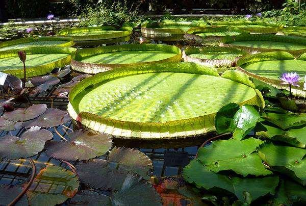 Виктория амазонская (Victoria amazonica), фото растения фотография
