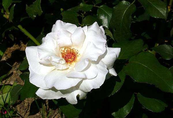 Белая роза, фото растения фотография