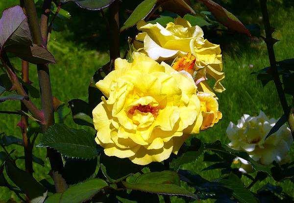 Желтый розовый куст, фото растения фотография картинка
