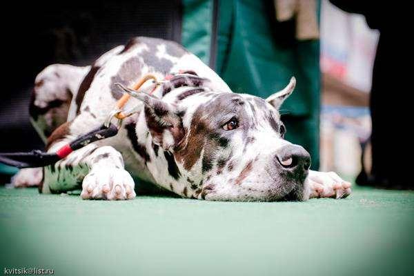 Немецкий дог, фото породы собак фотография
